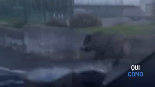 Video da Sagnino: il cinghiale a spasso per le strade del quartiere