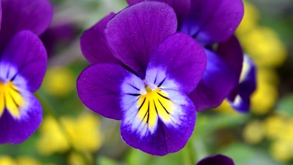 100 sfumature di viole, nel comasco un weekend con il fiore tanto amato